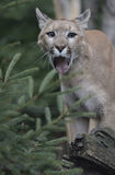 Cougar Stock Images