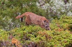 Cougar jumping over bush Royalty Free Stock Photos