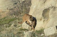 Cougar and kit. Cougar wiyh her kit in North Dakota Badlands Royalty Free Stock Image