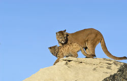 Cougar and kit. Against blue sky Royalty Free Stock Photo