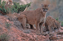 Cougar and kit. Cougar with her kit. North Dakota Badlands Royalty Free Stock Images