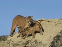 Cougar and kits. Cougar protecting her kits. North Dakota Badlands Royalty Free Stock Images