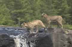 Cougar kits Stock Images