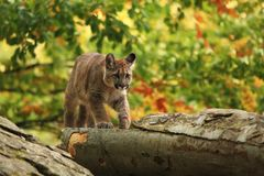 Cougar is the largest feline of North America. Puma concolor. Autumn in Czech nature. Animal on rock. Colorful autumn. Beautiful colors. America royalty free stock image