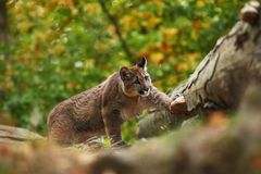 Cougar is the largest feline of North America. Puma concolor. Autumn in Czech nature. Animal on rock. Colorful autumn. Beautiful colors. America royalty free stock photos