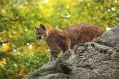 Cougar is the largest feline of North America. Puma concolor. Autumn in Czech nature. Animal on rock. Colorful autumn. Beautiful colors. America stock images