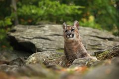 Cougar is the largest feline of North America. Puma concolor. Autumn in Czech nature. Animal on rock. Colorful autumn. Beautiful colors. America stock photos