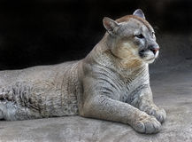 Cougar 2 Royalty Free Stock Images