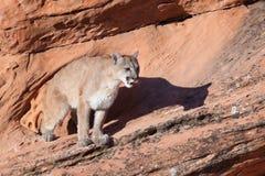 Cougar on ledge of red sandstone in Utah`s desert southwest. A cougar on ledge of red sandstone in Utah`s desert southwest Royalty Free Stock Images