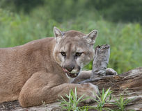 Cougar Licking His Lips Stock Photography