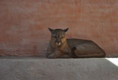 Cougar lies with eyes closed stock image