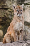 Cougar Royalty Free Stock Photography