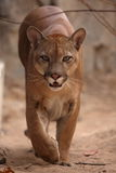 Cougar or mountain lion Royalty Free Stock Photography