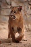 Cougar or mountain lion Stock Photos