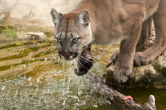 Cougar or mountain lion drinking Stock Image