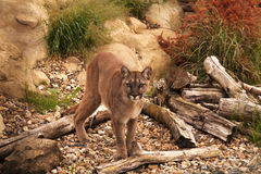 Cougar, Mountain Lion or Puma Stock Photos