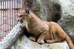 Cougar or mountain lion - puma concolor Stock Photography