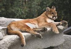 Cougar Mountain Lion Resting Royalty Free Stock Photography
