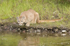 Cougar near pond closeup posed to strike. Royalty Free Stock Photo
