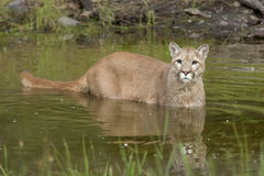 Cougar in pond closeup Royalty Free Stock Photography