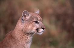 Cougar portrait. Head shot of a cougar, Northern Minnesota Stock Photos