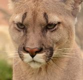 Cougar portrait Royalty Free Stock Photos