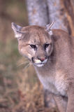 Cougar portrait. Cougar photographed in Northern Minnesota Royalty Free Stock Images