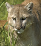 Cougar portrait Stock Photos