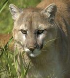 Cougar portrait Stock Photos