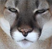 Cougar Face Stock Photos