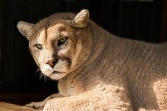 Cougar portrait Stock Image