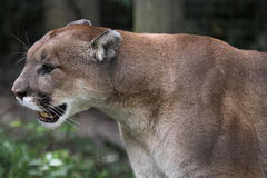 Cougar on the Prowl. A cougar on the prowl (Felis concolor) in it's pen Stock Images