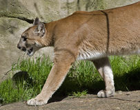 Cougar on the prowl royalty free stock image