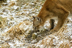 Cougar on the prowl. At the Calgary zoo Royalty Free Stock Photography