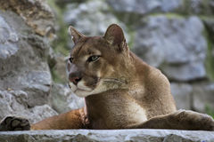 Cougar / Puma. Beautiful male Coguar / Puma resting on rocky surfaces stock photos