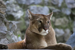 Cougar / Puma. Beautiful male Coguar / Puma resting on rocky surfaces royalty free stock photography