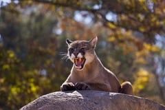 cougar ι puma concolor Στοκ Φωτογραφίες