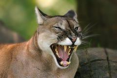 cougar puma concolor Στοκ φωτογραφία με δικαίωμα ελεύθερης χρήσης