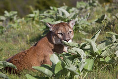 Cougar Puma concolor Royalty Free Stock Image