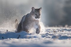 Cougar Puma concolor, also commonly known as the mountain lion, puma, panther, or catamount. is the greatest of any large wild t stock photography