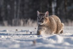 Cougar Puma concolor, also commonly known as the mountain lion, puma, panther, or catamount. is the greatest of any large wild t stock image