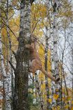 Cougar Puma concolor Climbs Up Tree royalty free stock photo