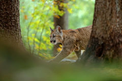Cougar, Puma concolor, in the rock nature forest habitat, between two trees, hidden portrait danger animal with stone, USA Stock Images