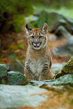 Cougar, Puma concolor, sitting in the rock nature habitat, portrait danger animal with stone, Stock Images