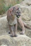 Cougar (Puma Concolor) Stock Photography
