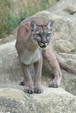 Cougar (Puma Concolor) Stock Photos