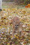 Cougar Puma concolor Steps Forward royalty free stock images