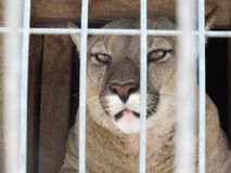 Cougar Puma. Behind a fence in a park royalty free stock photos