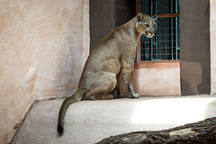 Cougar or Puma in zoo. Cougar or Puma Puma concolor in zoo Stock Image