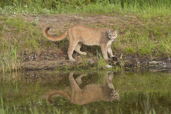 Cougar reflection in pond Stock Images